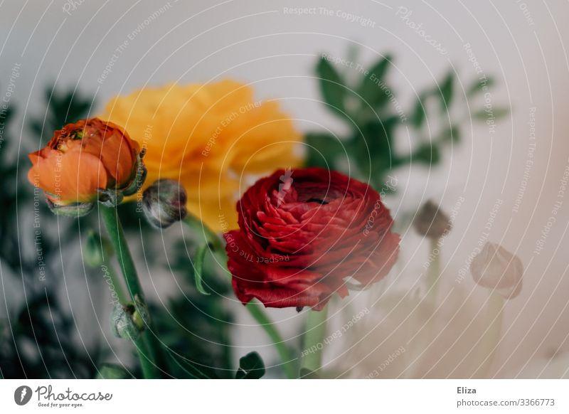 Ranunkelliebe Blume schön mehrfarbig Frühlingsblume Frühlingsgefühle Blumenstrauß Floristik grün rot orange gelb altehrwürdig Retro-Farben Farbfoto
