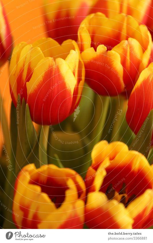 Tulpen gelb-rot Pflanze Blume Blüte Freundlichkeit Fröhlichkeit frisch hell schön natürlich positiv grün Freude Lebensfreude Frühlingsgefühle Optimismus Farbe