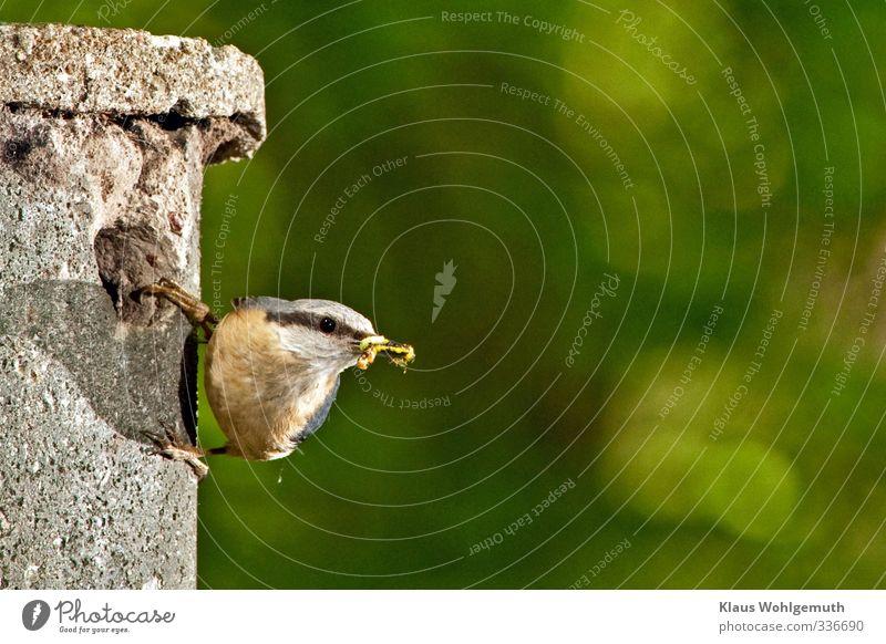 Was guckst du? 2 Umwelt Natur Tier Frühling Wald Vogel Tiergesicht Flügel Krallen Kleiber 1 beobachten Fressen füttern grau orange schwarz Auge Schnabel Feder