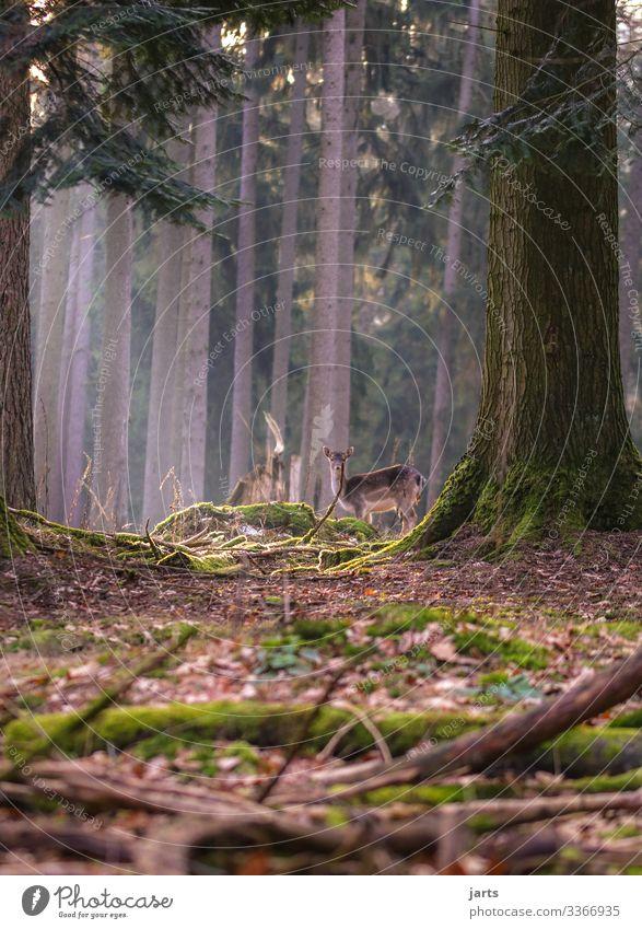 wild Natur Landschaft Baum Wald Wildtier 1 Tier beobachten stehen natürlich Gelassenheit ruhig Reh Wachsamkeit Farbfoto Außenaufnahme Textfreiraum links