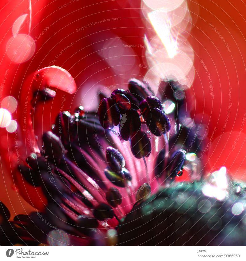 mohnblüte Blume Blüte frisch natürlich schön violett rosa rot Natur Mohn Mohnblüte Stempel Farbfoto Nahaufnahme Detailaufnahme Makroaufnahme Menschenleer