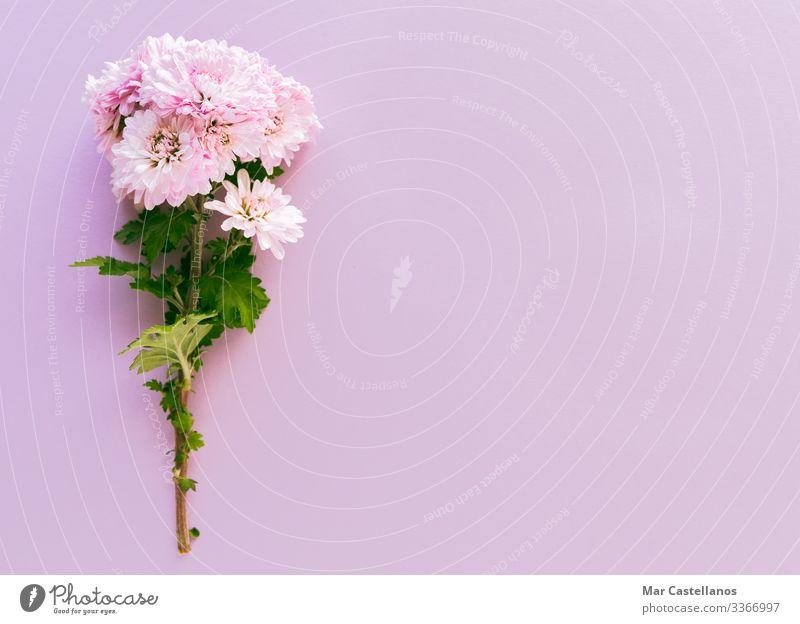 Blumenstrauß auf rosa Hintergrund. Raum kopieren. elegant Dekoration & Verzierung Feste & Feiern Valentinstag Muttertag Hochzeit Geburtstag Erwachsene