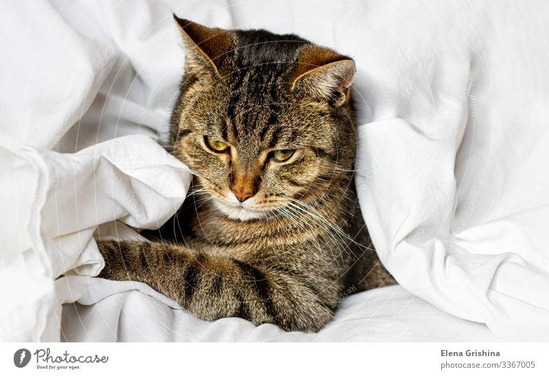 Tabby-Katze schläft auf einem weißen Bettlaken. Selektiver Fokus. Lifestyle schön ruhig Winter Haus Tier Stoff Haustier schlafen träumen lustig braun