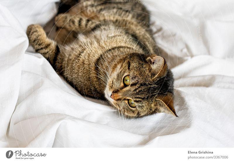 Tabby-Katze liegt auf einem weißen Bettlaken. Selektiver Fokus. Lifestyle Erholung ruhig Haus Tier Stoff Haustier Tiergesicht Pfote schlafen lustig braun