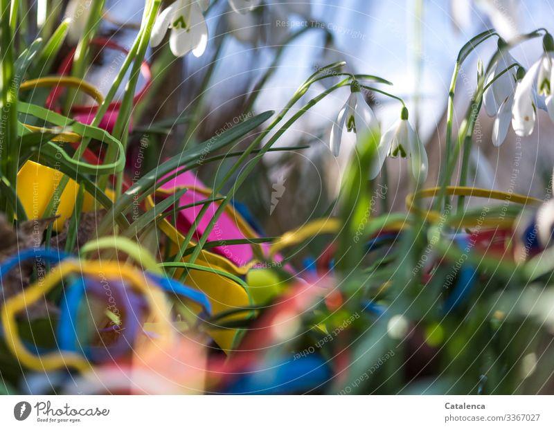 Challenge |Schneeglöckchen Umwelt Natur Pflanze Himmel Frühling Schönes Wetter Blume Blatt Blüte Wildpflanze Garten Park Wiese Gummiband Blühend verblüht schön