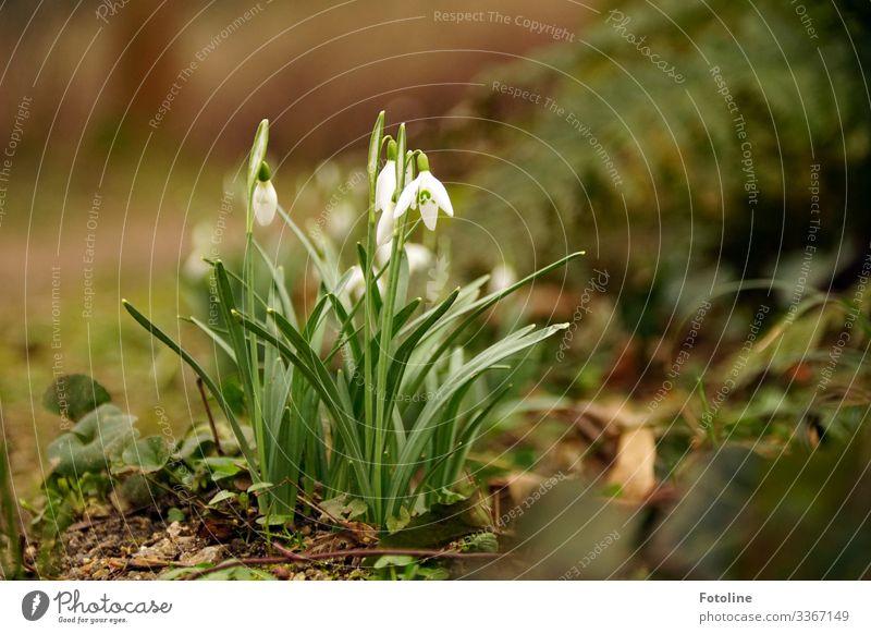 Frühlingsbbote Umwelt Natur Pflanze Urelemente Erde Sand Blume Blüte Garten Park hell klein nah natürlich braun grün weiß Schneeglöckchen Frühblüher