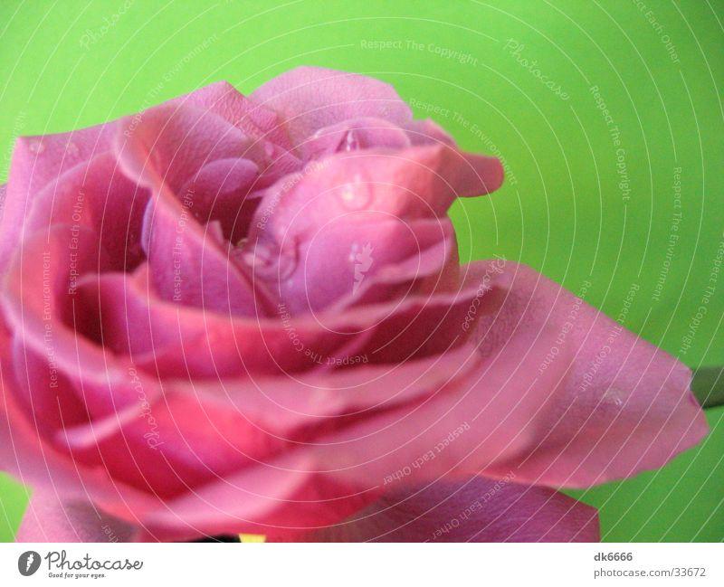 pinke rose mit grünem hintergrund Rose Wassertropfen rosa Natur Detailaufnahme grüner hintergrund