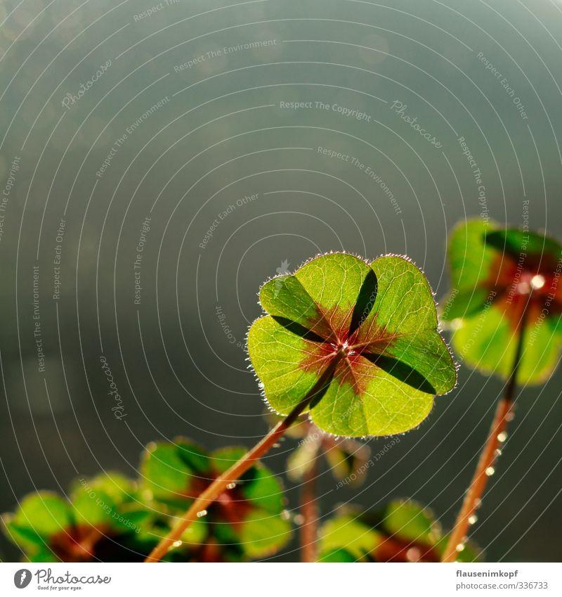 Glücksklee Sonnenlicht Frühling Sommer Pflanze Blatt Grünpflanze Topfpflanze berühren Blühend nah natürlich schön grün Gefühle Freude Lebensfreude selbstbewußt