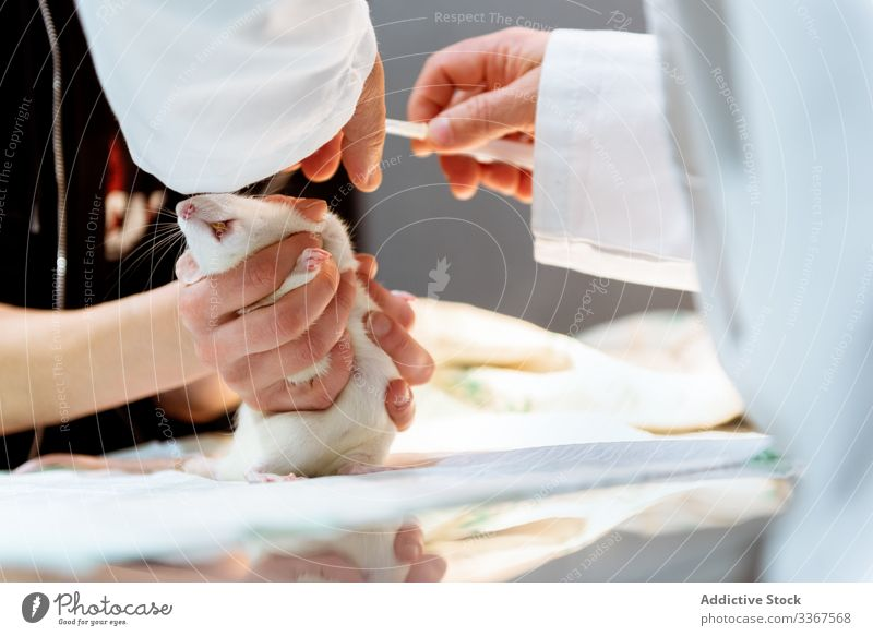 Tierarzt macht Injektion für Ratte Veterinär Einspritzung Haustier medizinisch Arzt Spritze Hände behandeln. Pflege Klinik Krankenhaus Gesundheit krank