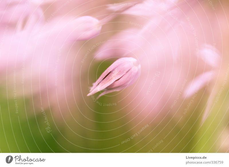 da Blume 2 Natur schön Pflanze ruhig Blatt Umwelt Wärme Frühling Blüte Garten natürlich rosa leuchten frisch ästhetisch