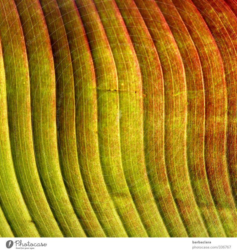 Sanfte Wellen Pflanze Blatt Nutzpflanze Banane Linie Streifen Wellenform parallel exotisch frisch Gesundheit viele Wärme grün rot ästhetisch Farbe Natur