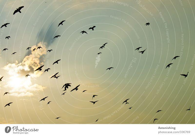 Schwarm Luft Himmel Wolken Sonne Sonnenlicht Sommer Wetter Schönes Wetter Wärme Tier Wildtier Vogel Taube fliegen blau gelb gold Vogelschwarm schwarz hoch oben
