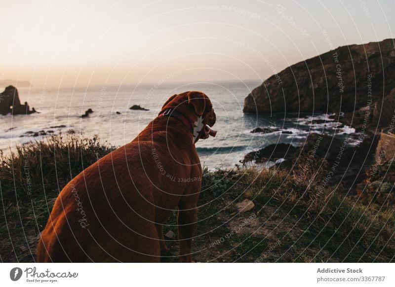 Brauner Mastiffhund auf Klippe vor ruhigen Meereswellen und felsiger Küste am Abend Hund MEER Ufer Wasser Dogge Haustier allein Hügel Bucht Spanien winken