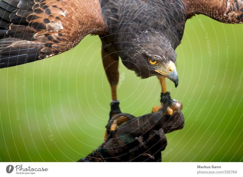 Habicht Natur grün Tier gelb Auge braun Vogel Kraft Wildtier Feder Flügel Schnabel Handschuhe Habichte