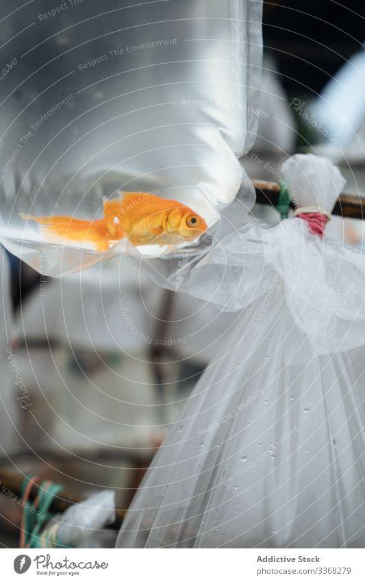 Goldfisch in Plastiktüte am Marktstand Fisch Aquarium fangen Kauf kaufen Haustier verkaufen Marktplatz Kunststoff Tier gold Ökologie Paket Tasche klein