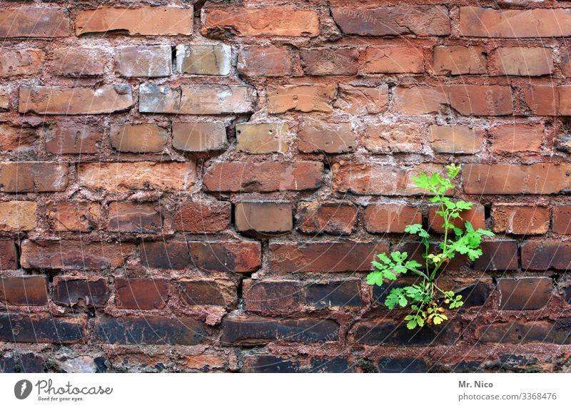 eine frage der zeit Pflanze Blatt Dorf Stadt Haus Bauwerk Gebäude Mauer Wand grün rot Wachstum Durchsetzungsvermögen Riss alt Verfall Ruine Mauerpflanze