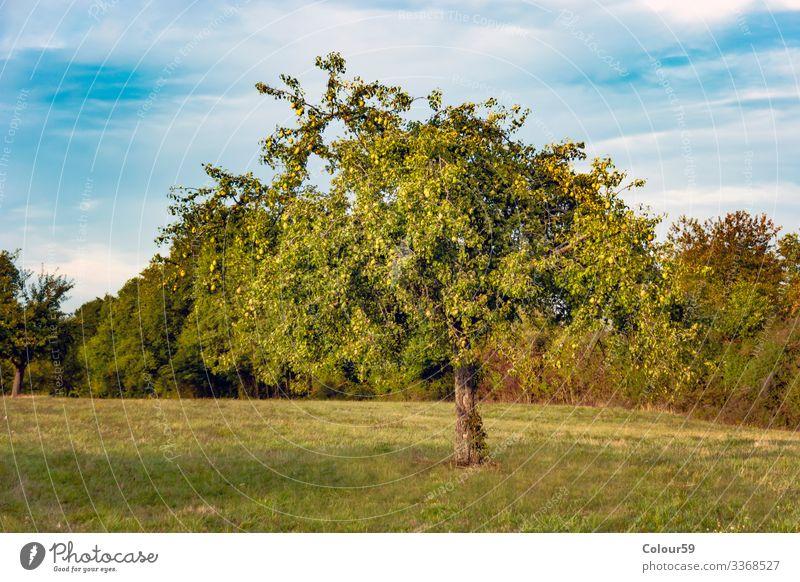 Birnbaum Sommer Natur Pflanze Schönes Wetter springen obstbaum wiese grün obstbaumwiese deutschland baumstamm blätter Farbfoto Außenaufnahme Menschenleer Tag