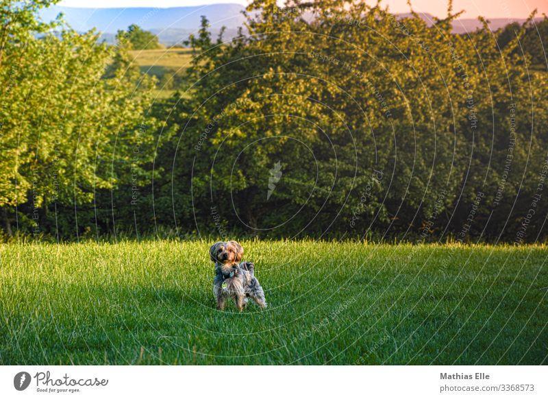 Terrier beim spazieren gehen Haustier Hund 1 Tier grau grün Westhighland-Terrier Wiese Sträucher Spaziergang Gassi gehen auslaufen Spielen Kleiner Hund