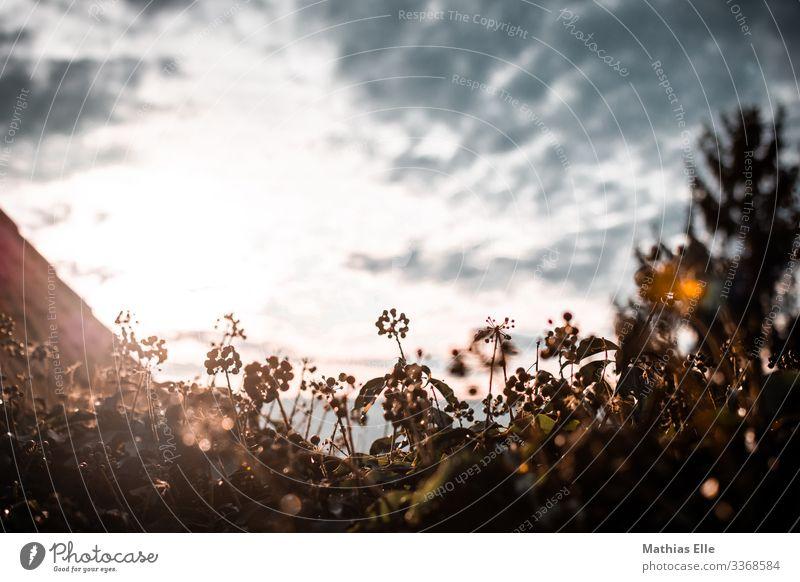 Herbstliches Blumenbeet im Gegenlicht Umwelt Himmel Wolken Schönes Wetter Pflanze Sträucher braun Sonnenlicht Reflexion & Spiegelung Lichtschein Sonnenstrahlen