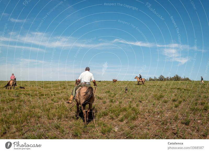 Vier Gauchos und drei Hunde gegen ein Rind am Lasso Reiter Pferde Wiese Weide Gras Himmel Sommer Horizont Landschaft Natur Schönes Wetter Nutztier