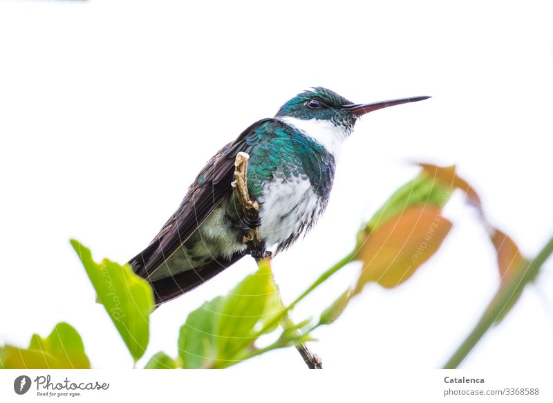 Ein  wachsamer Kolibri sitzt auf einen Zweig und überblickt sein Revier Zentralperspektive Ganzkörperaufnahme Tierporträt Tag Schwache Tiefenschärfe