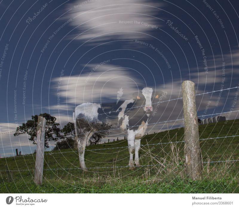 Geisterkuh in der Nacht Natur Tier Nachthimmel Stern Mond Baum Wiese Nutztier Kuh 1 Holz Denken Blick stehen lustig Neugier blau grün schwarz weiß