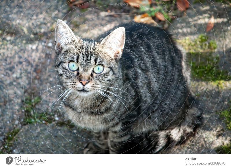 Katze schaut mit grünen Augen in die Kamera Häusliches Leben Tier Haustier Tiergesicht 1 hocken Blick sitzen Neugier grau Wachsamkeit Interesse Gefühle Vorsicht