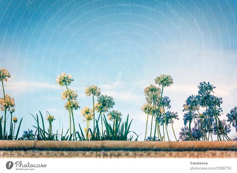 Schmucklilien Natur Pflanze Wasser Himmel Wolken Sommer Schönes Wetter Blume Blatt Blüte Agapanthus Amaryllidaceae Schwimmbad Blühend Duft schön blau braun grün