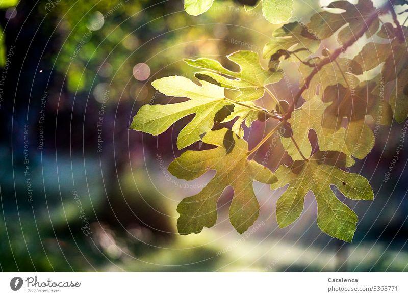 Feigenblätter und Früchte im Gegenlicht am Abend Pflanze Sommer Natur Sonnenlicht Menschenleer Umwelt Licht grün Blatt Baum Kontrast Feigenblatt Frucht