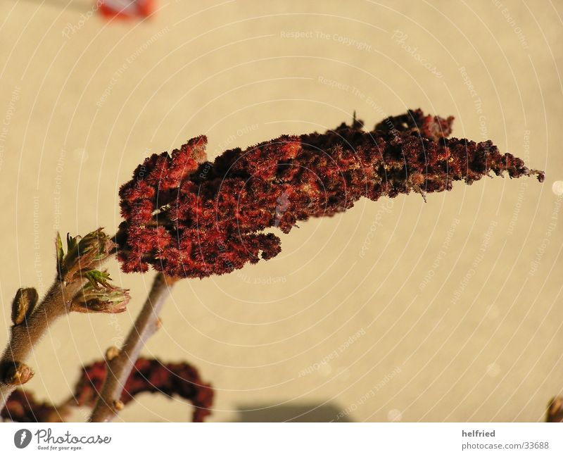 Rhus typhina anacardiaceae Natur Blüte Frühling Garten Essigbaum