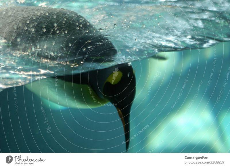 Neugier Tier Wildtier Tiergesicht Zoo Pinguin 1 Schwimmen & Baden entdecken fangen Fressen Jagd Blick außergewöhnlich Flüssigkeit frech schön lustig maritim