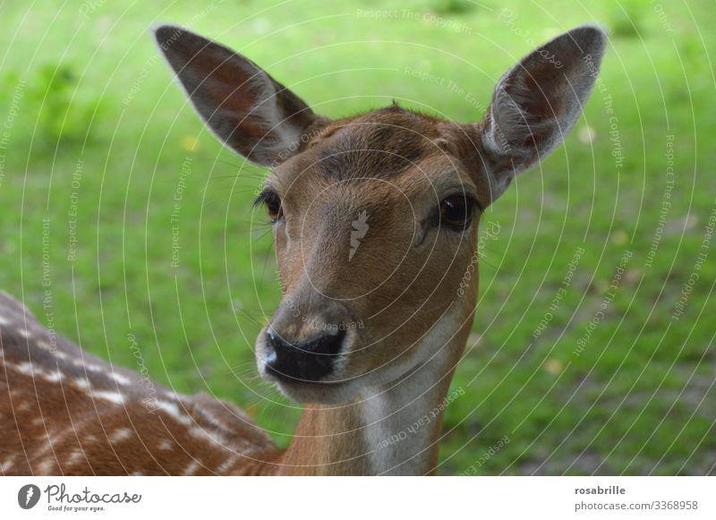 ein zahmes Reh spitzt seine großen Ohren, denn es hört ein leises | Geräusch große Ohren hören Geräusche lauschen wachsam Wachsamkeit Tier Wildtier Tierporträt