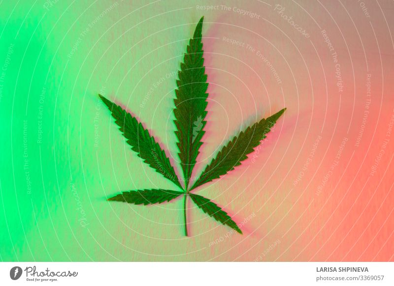 Blatt Cannabis, Marihuana auf glänzendem Neongrün-Rot Kräuter & Gewürze Design Medikament Natur Pflanze Gras hell modern natürlich rot Werbung Hanf Hintergrund