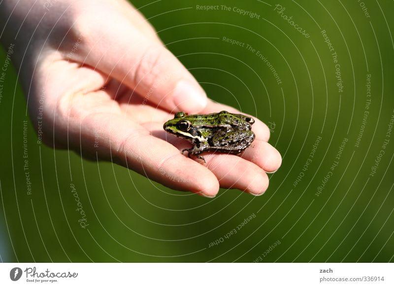 potenzieller Prinz Hand Finger Tier Frosch Laubfrosch sitzen Ekel schleimig grün Farbfoto Außenaufnahme Menschenleer Textfreiraum rechts Textfreiraum unten