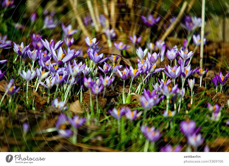 Crocus sativus Blume Blühend Blüte Garten Gras Schrebergarten Menschenleer Natur Pflanze Rasen ruhig Textfreiraum Tiefenschärfe Wiese Frühblüher