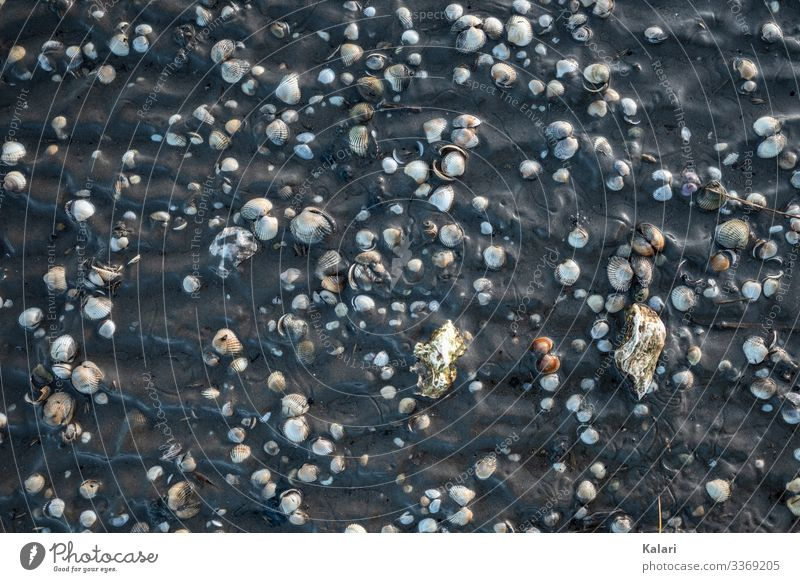 Muscheln im Schlick im Wattenmeer von oben bei Ebbe muscheln schlick ebbe wattenmeer nordsee vogelperspektive wattwandern priel hallig büsum flach gegenlicht