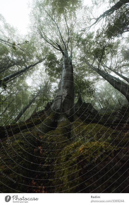 Mystische Eiche im tschechischen Wald mystisch mystischer Baum Nebel Eichenholz Eichenblatt grün Wurzeln frisch Frische Air neblig nebliger Wald Blatt Pflanze