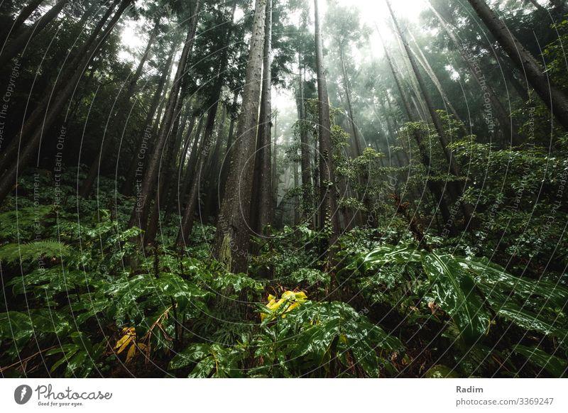 Grüner Regenwald in Portugal grün Wald Natur tropisch reisen Umwelt Hintergrund Flora Baum Blatt wild Laubwerk Dschungel frisch im Freien üppig (Wuchs)