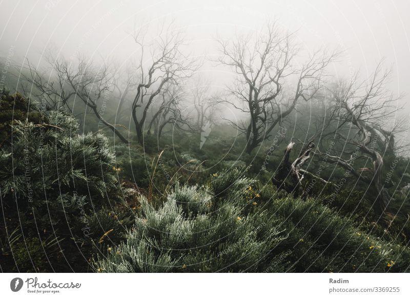 Grüner, nebliger Wald auf dem Pico Ruivo forstwirtschaftlich Nebel grün Grünstich Weitwinkel Baum Bäume Nachlauf