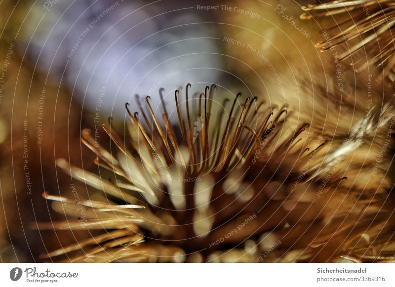 Vertrocknete Disteln in Nahaufnahme II Natur Pflanze Garten stachelig trocken braun gold Widerhaken Gedeckte Farben Außenaufnahme Detailaufnahme Makroaufnahme