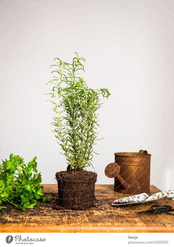 Frische Rosmarin Pflanze auf einem Holztisch Lebensmittel Kräuter & Gewürze Petersilie Ernährung Bioprodukte Nutzpflanze Gießkanne Rost Duft frisch Gesundheit
