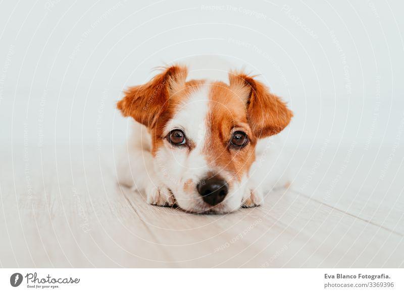 Porträt eines süßen, kleinen Jack-Russell-Hundes, der auf dem Boden liegt. Liebenswerter Hund zu Hause jack russell heimwärts im Innenbereich niedlich schön