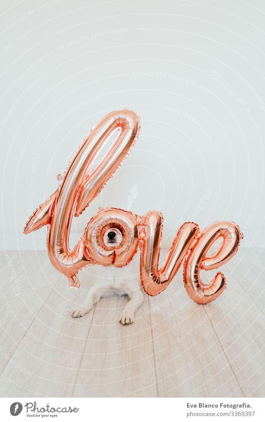 Porträt eines süßen kleinen Jack-Russell-Hundes zu Hause mit einem LOVE-Ballon auf der Schnauze. Valentines-Konzept Luftballon Liebe Valentinsgruß Februar 14