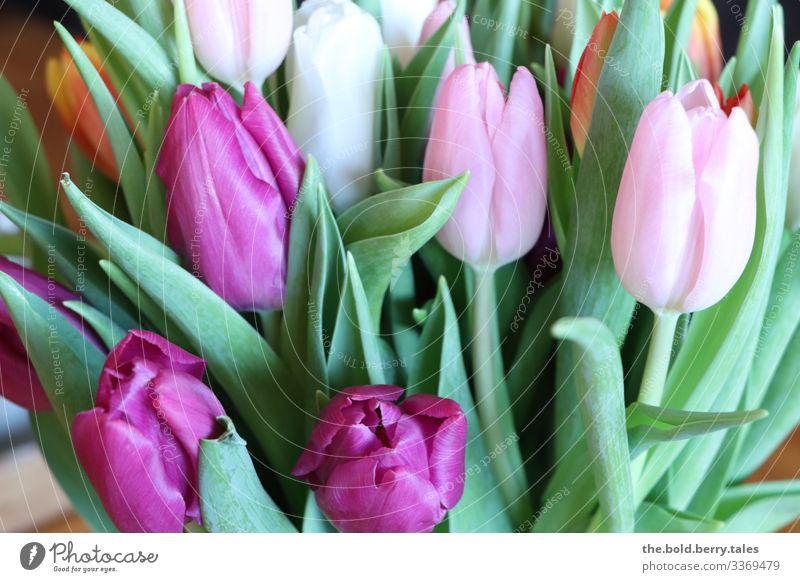 Tulpen lila-rosa Pflanze Frühling Blume Freundlichkeit Fröhlichkeit schön natürlich positiv grün violett Lebensfreude Frühlingsgefühle Optimismus Farbfoto