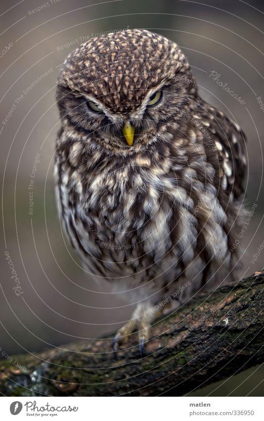 owlet Tier Tiergesicht 1 beobachten hocken braun gelb Ast heimlich beobachtend Farbfoto Gedeckte Farben Menschenleer Tag Tierporträt Vorderansicht Blick