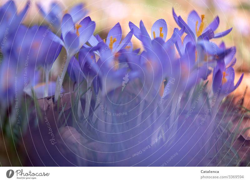 Frühlingsblumen Natur Pflanze Blume Blatt Blüte Wildpflanze Krokusse Garten Park Wiese Blühend verblüht Wachstum schön grün violett orange Fröhlichkeit