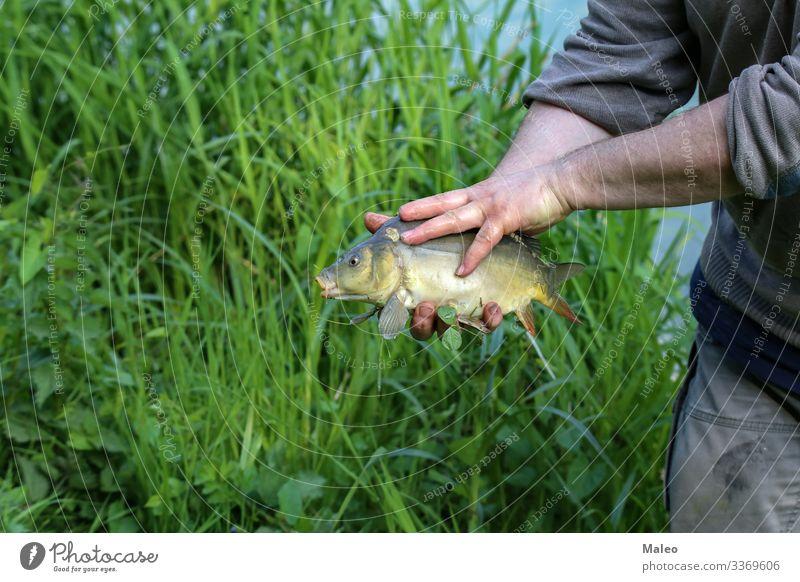 Fischer zeigt einen gefangenen Fisch Tier Köder Camping Karpfen Gebiss Angeln frisch Süßwasser Gras Hand Freizeit & Hobby Haken Mensch See Mann Natur Teich