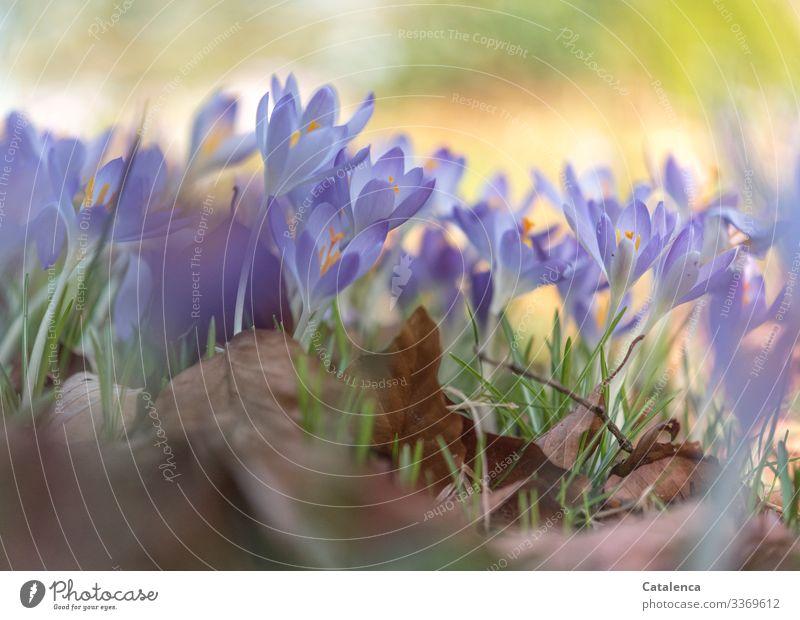 Frühling schon bald Natur Pflanze Schönes Wetter Blume Gras Blatt Blüte Krokusse Laub Garten Park Wiese Blühend verblüht schön braun gold grün violett orange