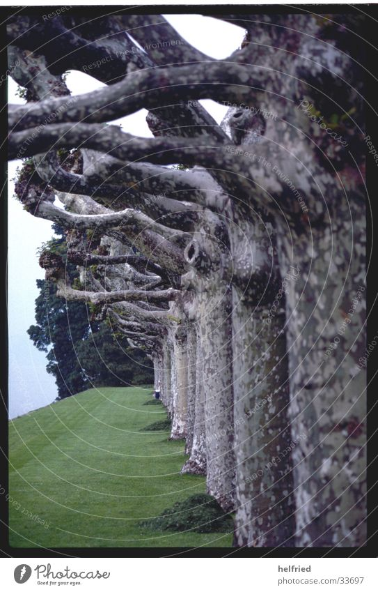 platanenallee Natur Baum Frühling Park Platane