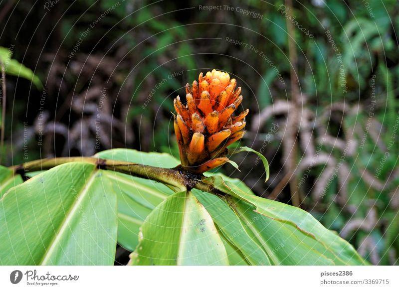 Guzman Conifer Bromeliad spotted in Las Quebradas Natur Pflanze gelb natural guzman flower orange red prickly flower planen fiery blossom bloom beauty beautiful